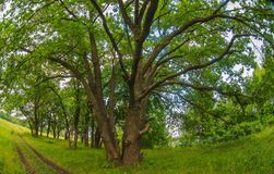 Green old oak tree summer landscape background Royalty Free Stock Photography