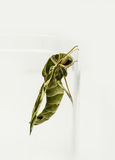Green oleander Hawk moth Royalty Free Stock Photos