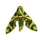 Green oleander Hawk moth Royalty Free Stock Image