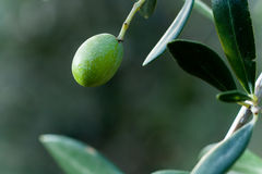 Green Olive on a Branch Royalty Free Stock Photo