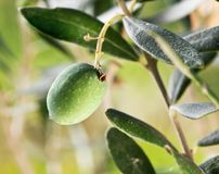 Green olive on the branch Royalty Free Stock Images