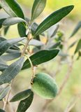 Green olive on the branch Stock Photography