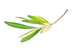 Green olive branch Stock Photography