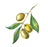 Green olive branch. Aquarelle hand drawn green olive branch Stock Images