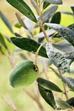 Green olive on the branch Stock Photo