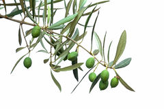 Green olive branch. Isolated on white Stock Images