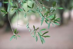 Green olive Royalty Free Stock Images