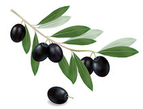 Green olive branch. Realistic . Royalty Free Stock Photo