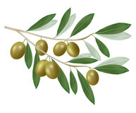 Green olive branch. Realistic . Royalty Free Stock Photography