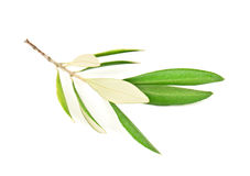 Green olive branch Royalty Free Stock Image