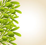 Green olive branches Royalty Free Stock Photography