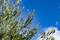 Branches with leaves of olive tree Stock Photography