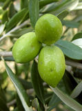 Green olive of Croatia. Three olives on tree in my place - Omis Royalty Free Stock Image