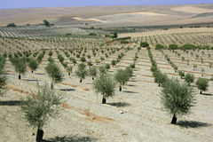 Green olive field in a summer sunny day Royalty Free Stock Images