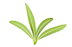 Green olive leaves Royalty Free Stock Image