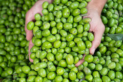 Green Olive for oil production royalty free stock image