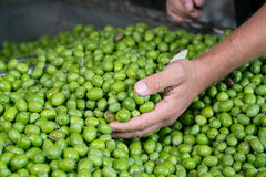 Green Olive for oil production. Fresh Harvested Green Olive for olive oil production Royalty Free Stock Photo