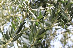 Green olive at a olive tree. In a great olive garden Royalty Free Stock Photography
