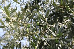 Green olive at a olive tree. In a great olive garden Stock Photos