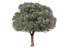 Green Olive Tree Royalty Free Stock Photography