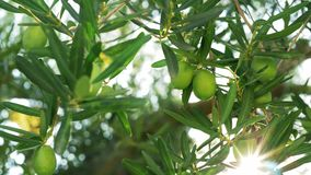 Green olive tree against sun light. Close-up shot of bright sun shining through the green branches and leaves of olive tree stock footage