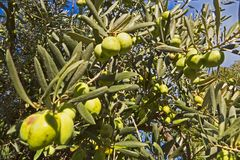Green olive tree on a blue sky background in Greece. Beautiful landscape natural green Stock Photos