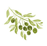 Green olive tree branch Stock Photos