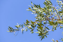 Green olive tree branches with fruits over blue sky Royalty Free Stock Images