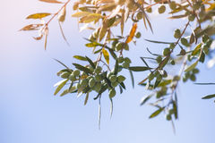 Green olive tree branches with fruits in sunlight Stock Photography