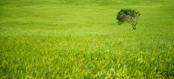 Green olive tree in green wheat field. Stock Photos