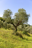 Green olive tree in Tuscany Stock Photography