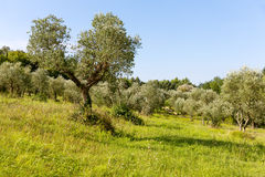 Green olive tree in Tuscany Royalty Free Stock Photo