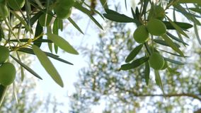 Green olive twig and big tree in background. Close-up low angle shot of twig with green olives on the background of big tree and sky stock video footage