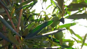 Green olive twig in Mediterranean garden. Close-up shot of olive tree. Green twig with fruit and sun shining through the leaves. Mediterranean garden stock footage
