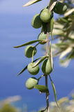 Green olives. Olive twig closeup in greece Stock Photography