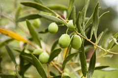 Free Green Olives Stock Photography - 79506882