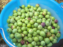 Green olives in blue bucket Stock Image