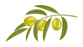 Green olives on branch Royalty Free Stock Photo
