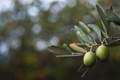 Green olives on branch. Close-up stock photo