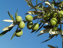 Green olives on a branch. Royalty Free Stock Photography