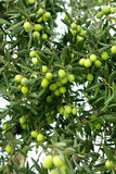 Green olives branch. Green olives on a tree Stock Photo