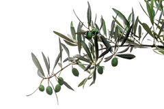 Green olives on branch isolated Stock Photo