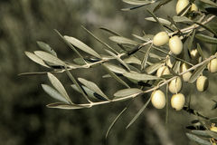 Green olives on branch with leaves, Jaen, Spain Stock Images