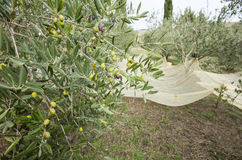 Green olives on the branch and net. In Italy Royalty Free Stock Image