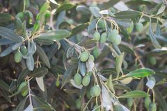 Green olives on branch of olive tree close up royalty free stock image