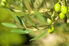 Green olives on a branch of olive tree - outdoors shot Stock Photos