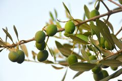 Green olives on the branch. Taken at island Korcula, Croatia. Olives are grown in ecological production. No pesticides are used. In November they ere pressed Royalty Free Stock Images