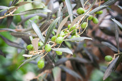 Green olives on branches, close up photo Stock Photography