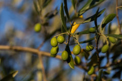 Green olives. A bunch of green olives in an olive tree royalty free stock photography