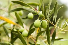 Green olives covered with raindrops stock photos